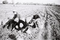 На картошке - сентябрь 1961 года :: На картошке - сентябрь 1961 года